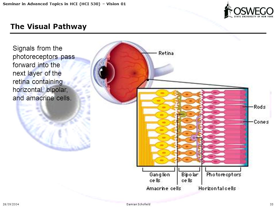 Seminar in Advanced Topics in HCI (HCI 530) – Vision 01 26/09/2004Damian Schofield33 The Visual Pathway Signals from the photoreceptors pass forward into the next layer of the retina containing horizontal, bipolar, and amacrine cells.