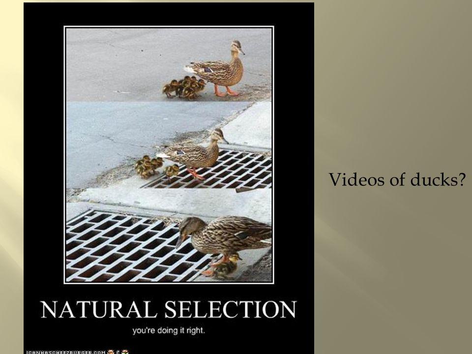 Videos of ducks?