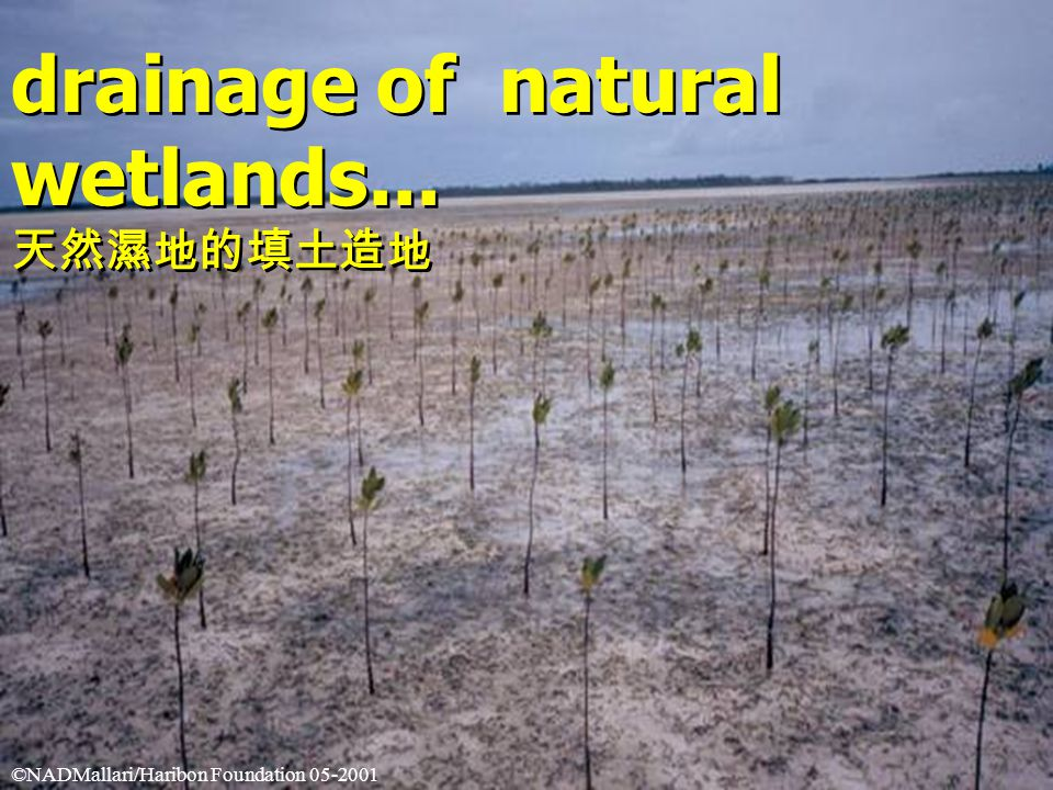 drainage of natural wetlands... 天然濕地的填土造地 drainage of natural wetlands...