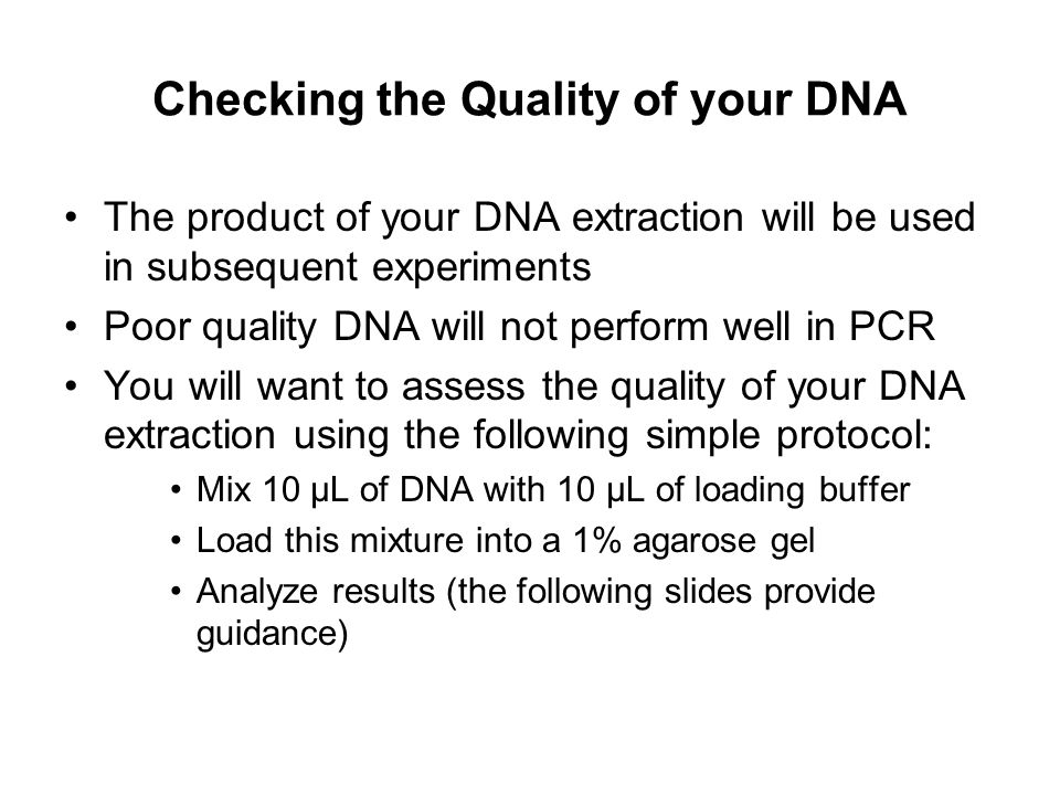Checking the Quality of your DNA The product of your DNA extraction will be used in subsequent experiments Poor quality DNA will not perform well in P
