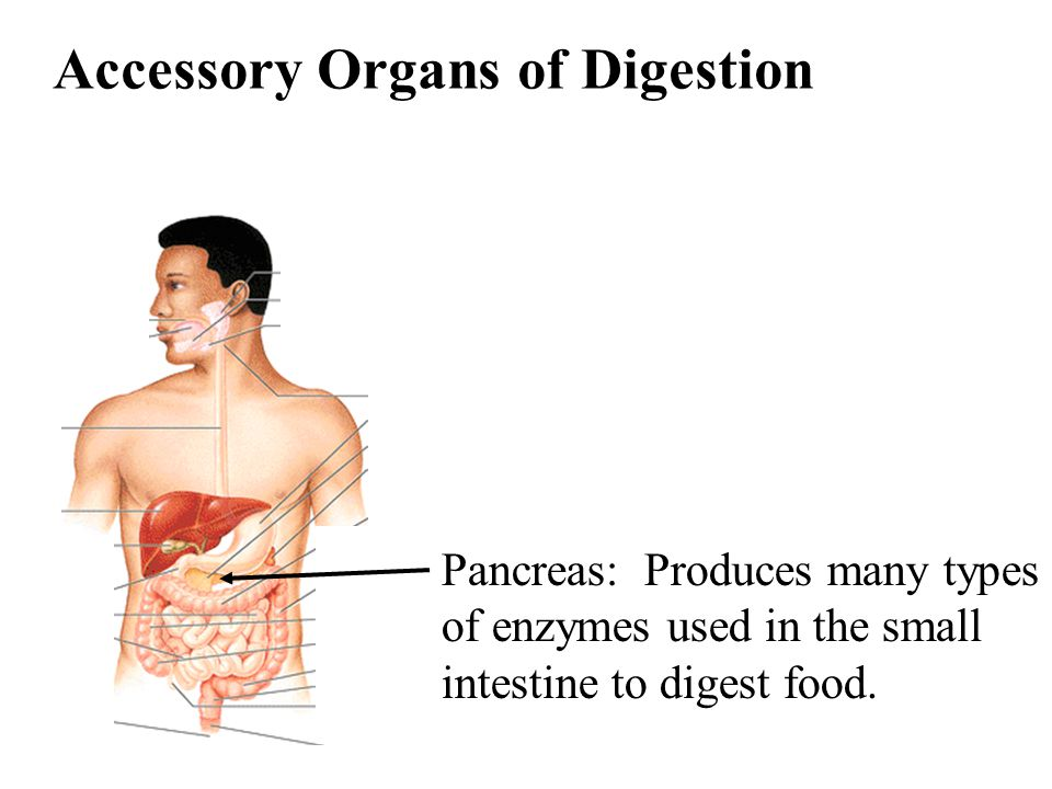 Accessory Organs of Digestion Pancreas: Produces many types of enzymes used in the small intestine to digest food.