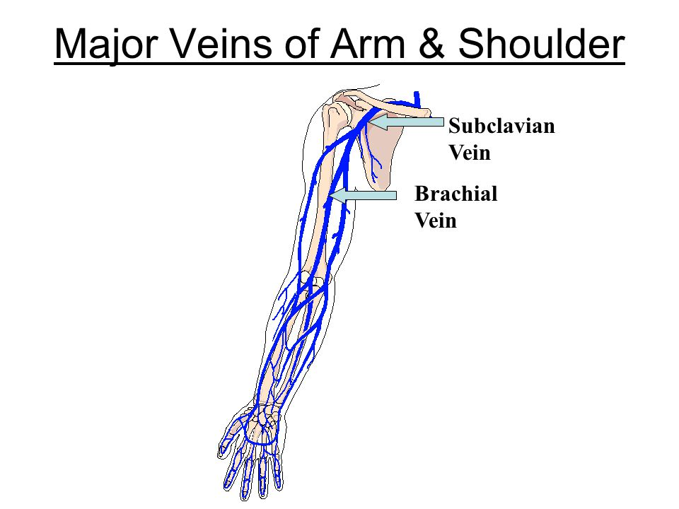 Major Veins of Arm & Shoulder Brachial Vein Subclavian Vein