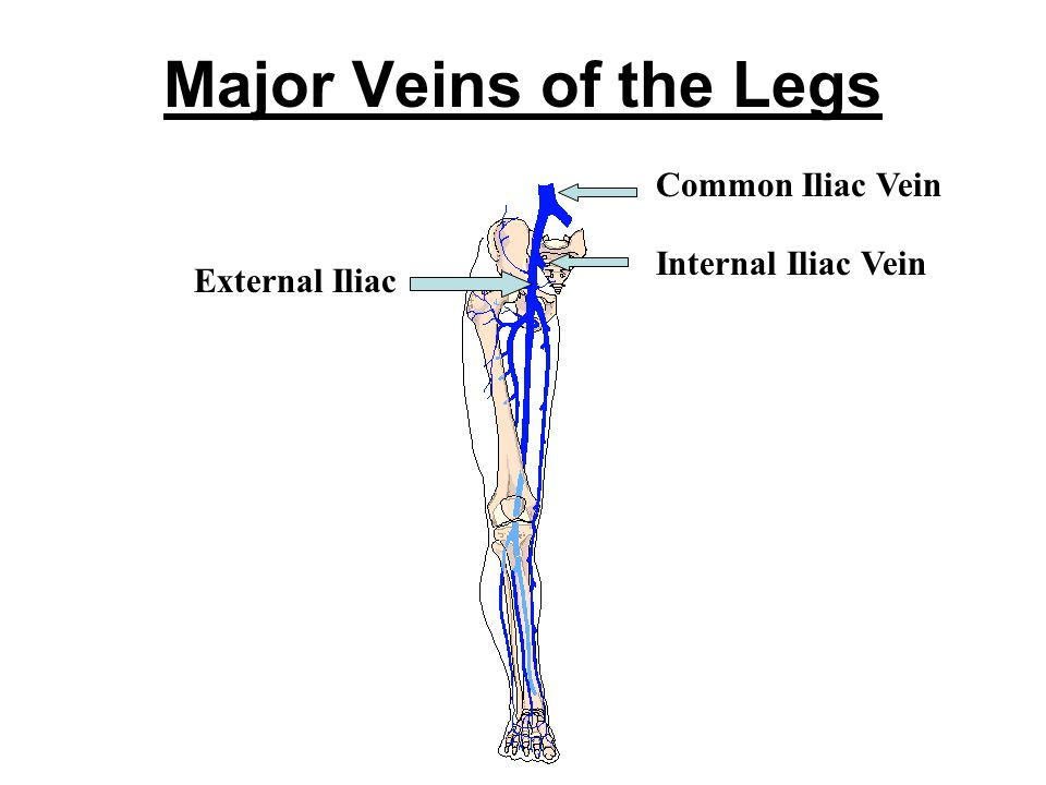 Major Veins of the Legs Internal Iliac Vein External Iliac Common Iliac Vein
