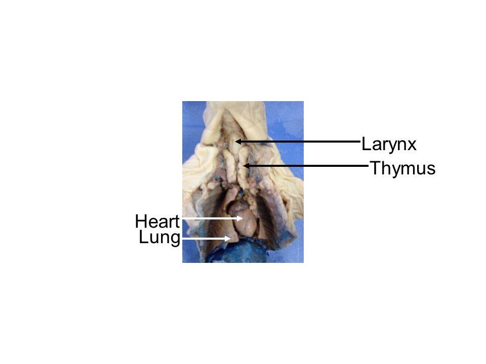 Larynx Thymus Lung Heart