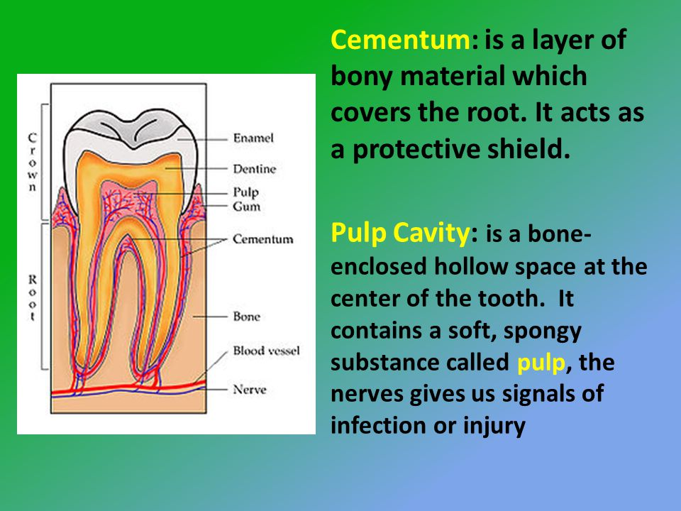 Cementum: is a layer of bony material which covers the root.