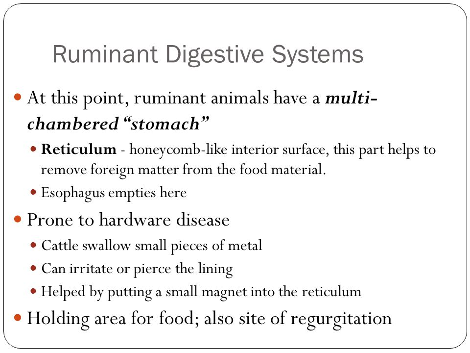 "Ruminant Digestive Systems At this point, ruminant animals have a multi- chambered ""stomach"" Reticulum - honeycomb-like interior surface, this part he"