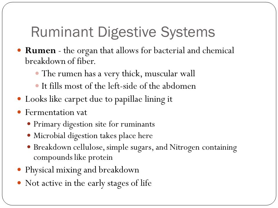Ruminant Digestive Systems Rumen - the organ that allows for bacterial and chemical breakdown of fiber. The rumen has a very thick, muscular wall It f