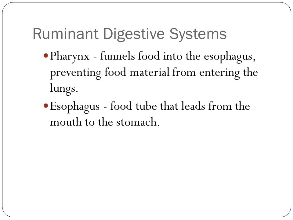 Ruminant Digestive Systems Pharynx - funnels food into the esophagus, preventing food material from entering the lungs. Esophagus - food tube that lea