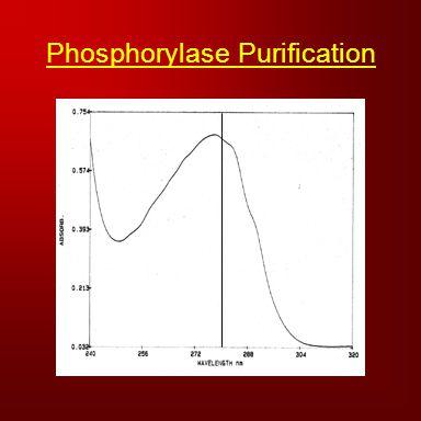 Phosphorylase Purification