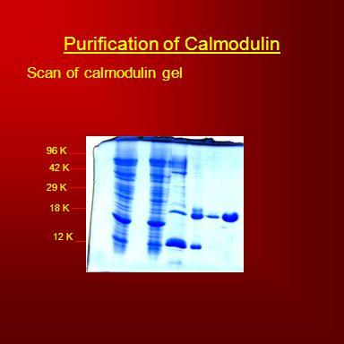 Scan of calmodulin gel 96 K 42 K 29 K 18 K 12 K