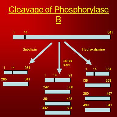 Cleavage of Phosphorylase B 184114 CNBR RXN HydroxylamineSubtilisin 114264 265841 114134 135259 260497 498841 1 242 442 91 350 604 14 351428