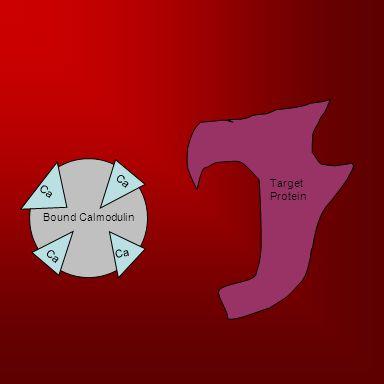 Bound Calmodulin Ca Target Protein