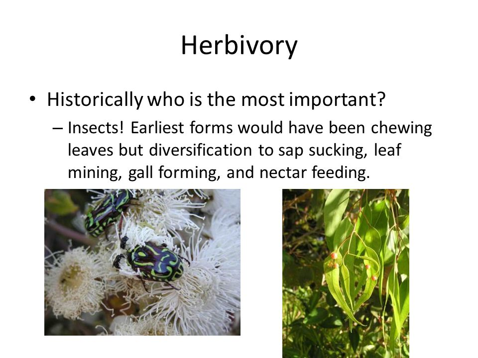 Herbivory Historically who is the most important. – Insects.