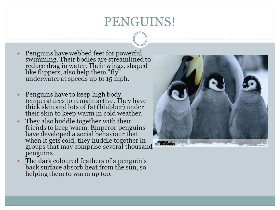 PENGUINS. Penguins have webbed feet for powerful swimming.