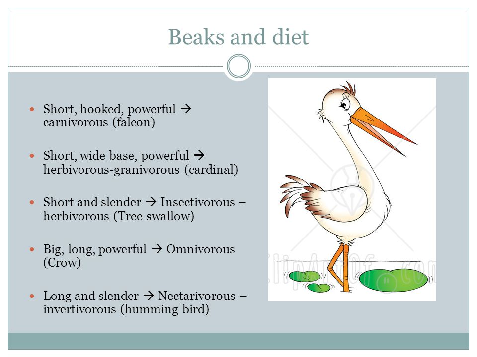 Beaks and diet Short, hooked, powerful  carnivorous (falcon) Short, wide base, powerful  herbivorous-granivorous (cardinal) Short and slender  Insectivorous – herbivorous (Tree swallow) Big, long, powerful  Omnivorous (Crow) Long and slender  Nectarivorous – invertivorous (humming bird)