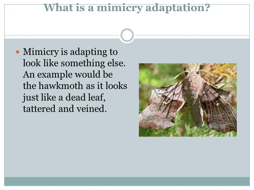 What is a mimicry adaptation. Mimicry is adapting to look like something else.