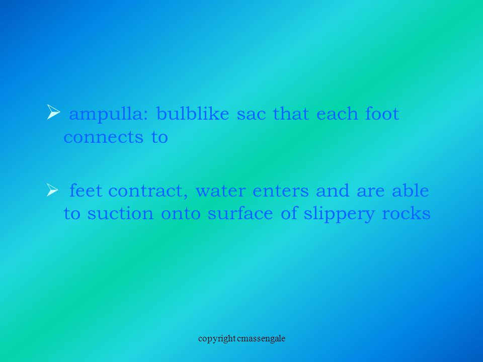  ampulla: bulblike sac that each foot connects to  feet contract, water enters and are able to suction onto surface of slippery rocks copyright cmassengale