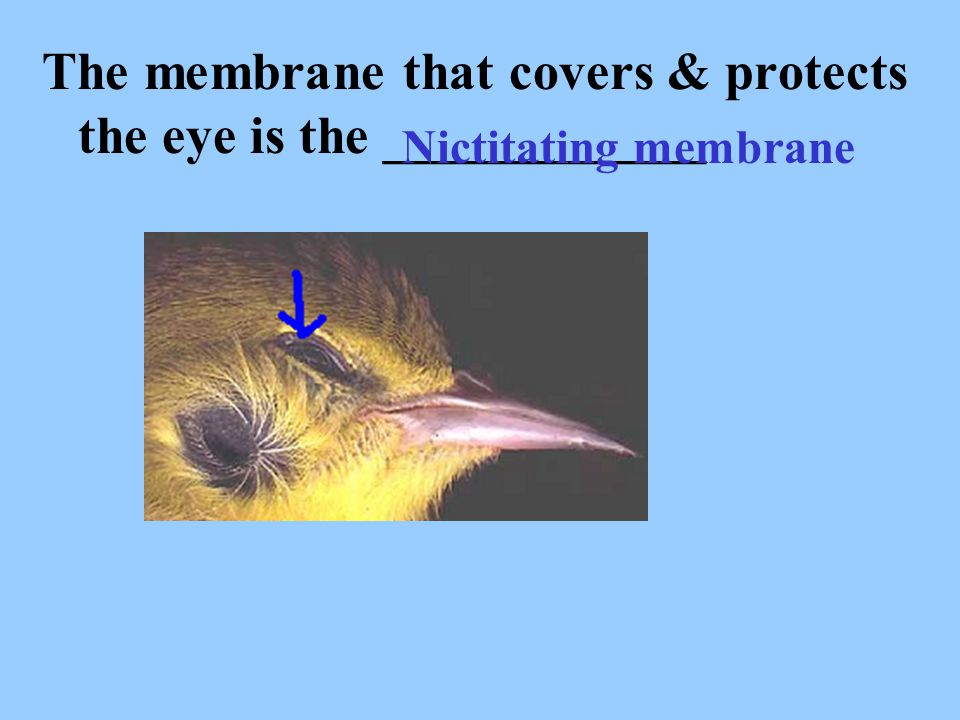 The membrane that covers & protects the eye is the ____________ Nictitating membrane
