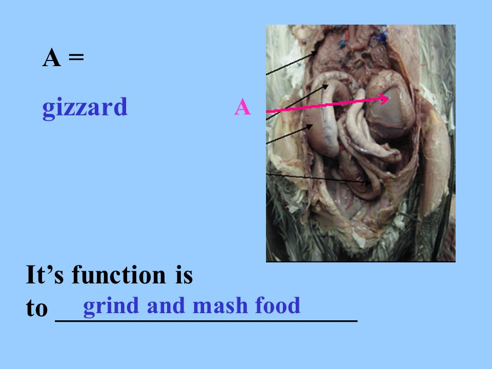 A = gizzard It's function is to ______________________ grind and mash food A