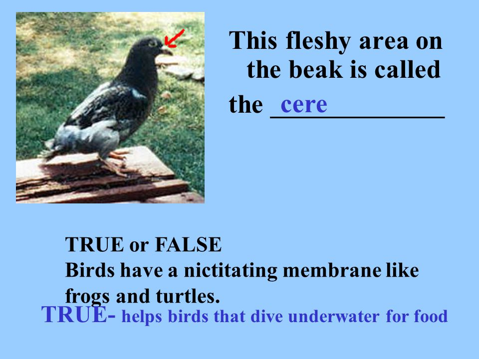 This fleshy area on the beak is called the _____________ cere TRUE or FALSE Birds have a nictitating membrane like frogs and turtles. TRUE- helps bird