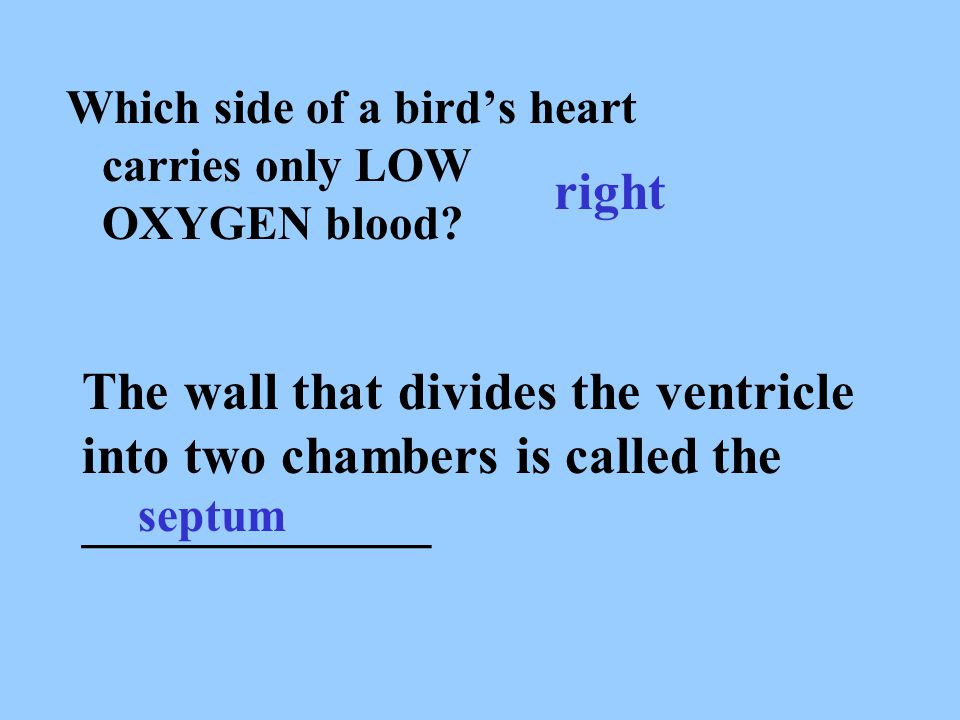 Which side of a bird's heart carries only LOW OXYGEN blood? right The wall that divides the ventricle into two chambers is called the _____________ se