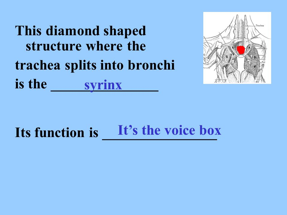 This diamond shaped structure where the trachea splits into bronchi is the _______________ syrinx Its function is ________________ It's the voice box
