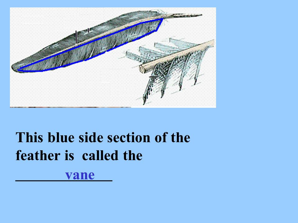 This blue side section of the feather is called the _____________ vane