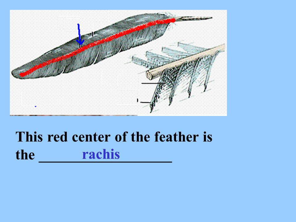 This red center of the feather is the __________________ rachis