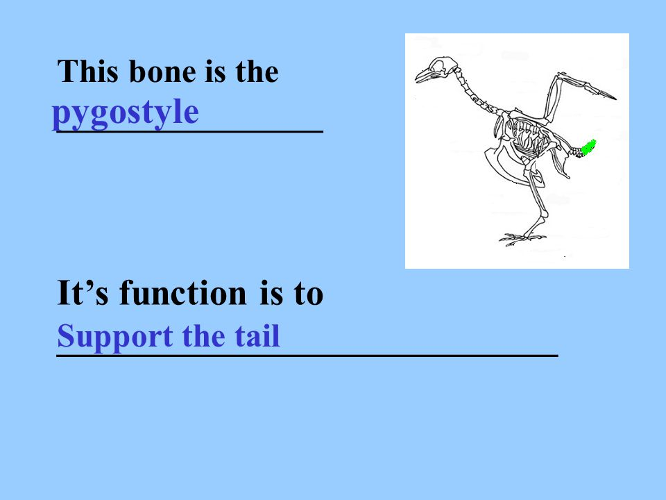 This bone is the ________________ pygostyle It's function is to ___________________________ Support the tail