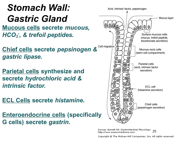 25 Mucous cells secrete mucous, HCO 3 -, & trefoil peptides. Chief cells secrete pepsinogen & gastric lipase. Parietal cells synthesize and secrete hy