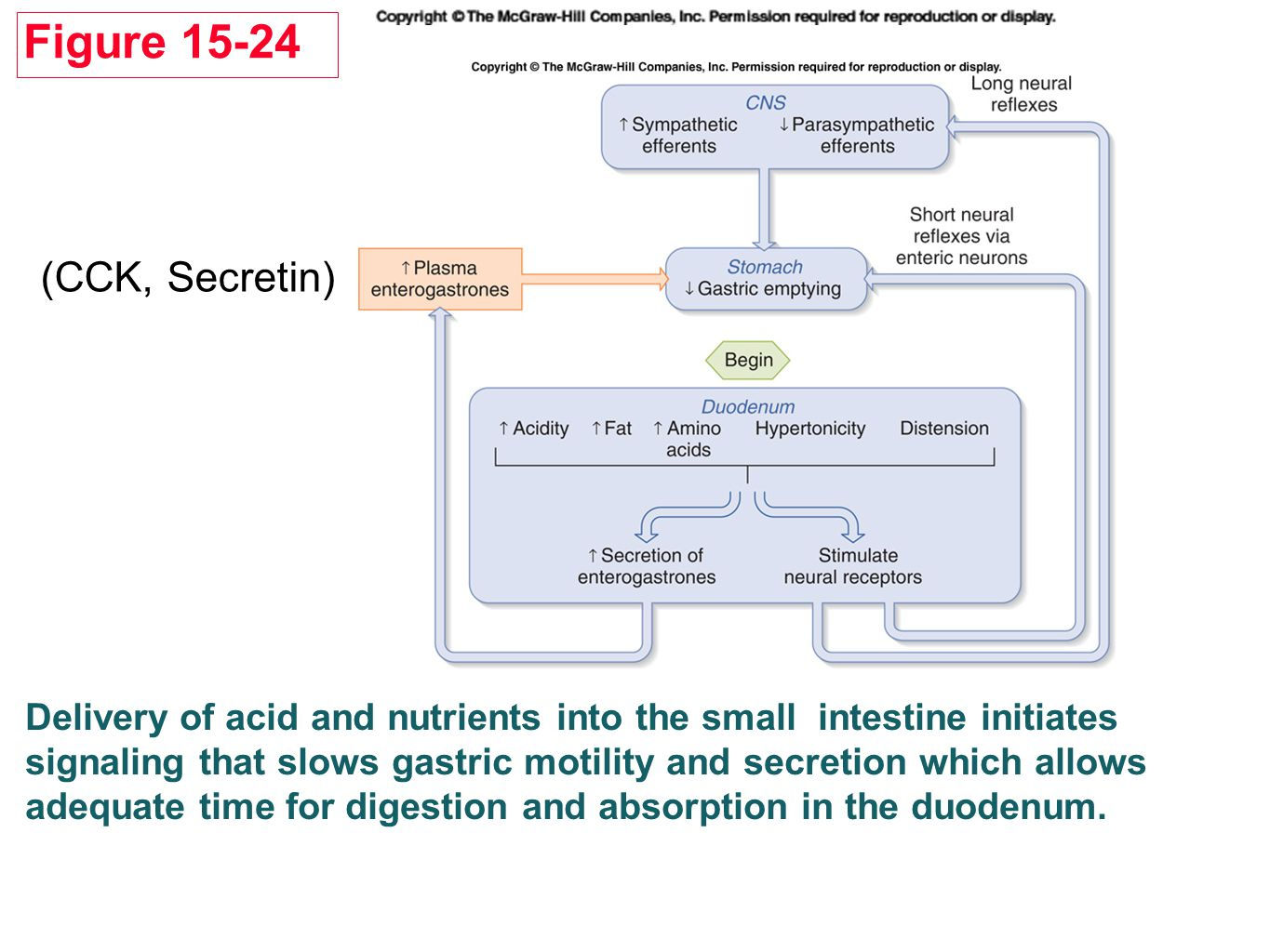 Delivery of acid and nutrients into the small intestine initiates signaling that slows gastric motility and secretion which allows adequate time for digestion and absorption in the duodenum.