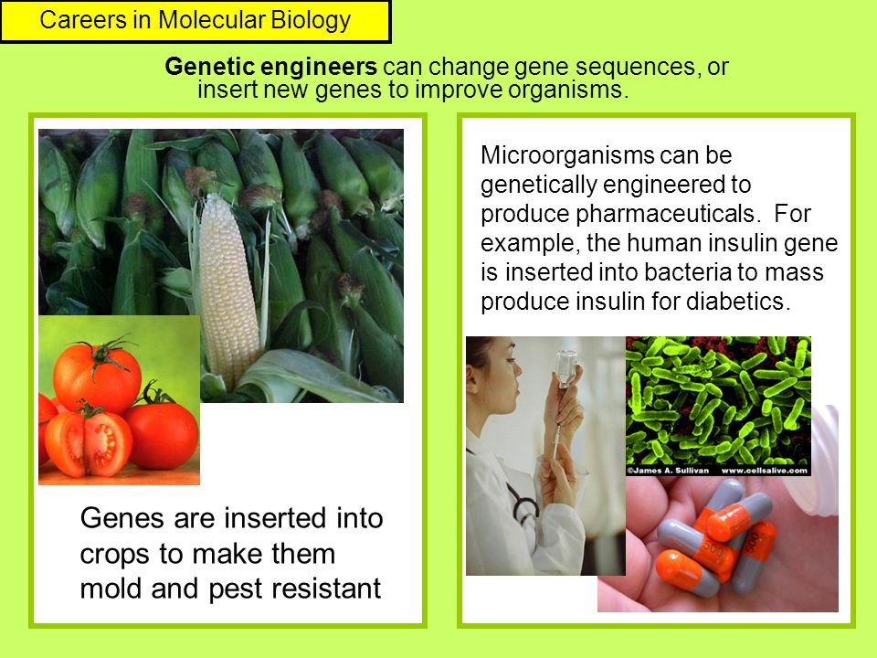 Genetic engineers can change gene sequences, or insert new genes to improve organisms. Genes are inserted into crops to make them mold and pest resist