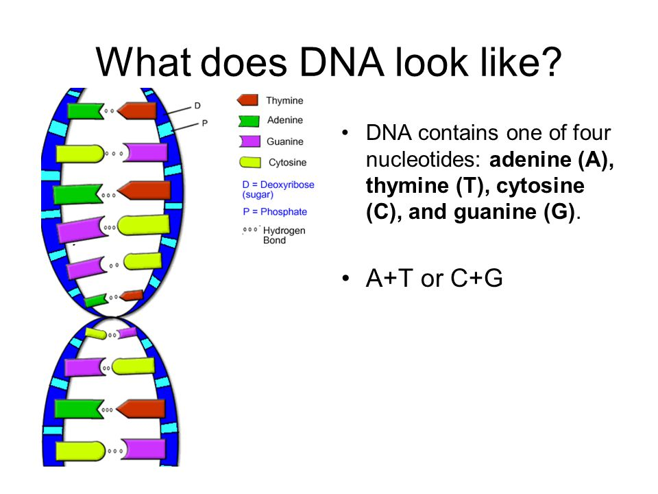 The role of the nucleotides The different nucleotides spell out a code: instructions for the cell Each set of instructions is a gene.