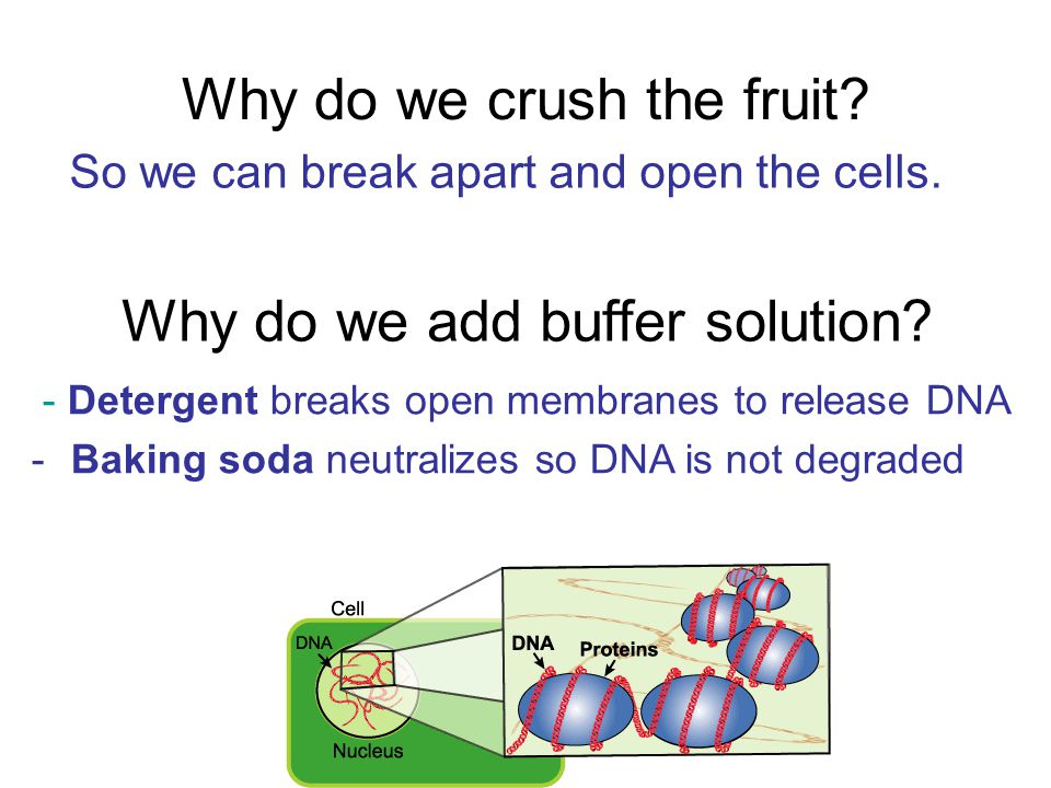 Why do we crush the fruit? So we can break apart and open the cells. Why do we add buffer solution? - Detergent breaks open membranes to release DNA -