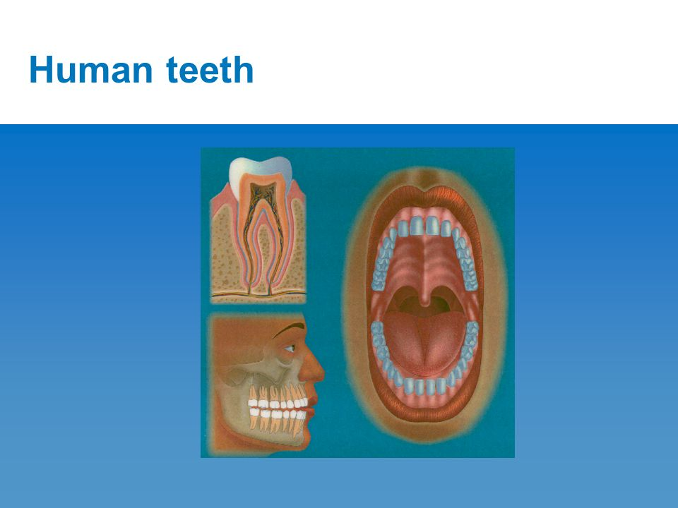 The four types of teeth 1.Incisor ( Cutting ) 2. Canine ( Piercing ) 3.