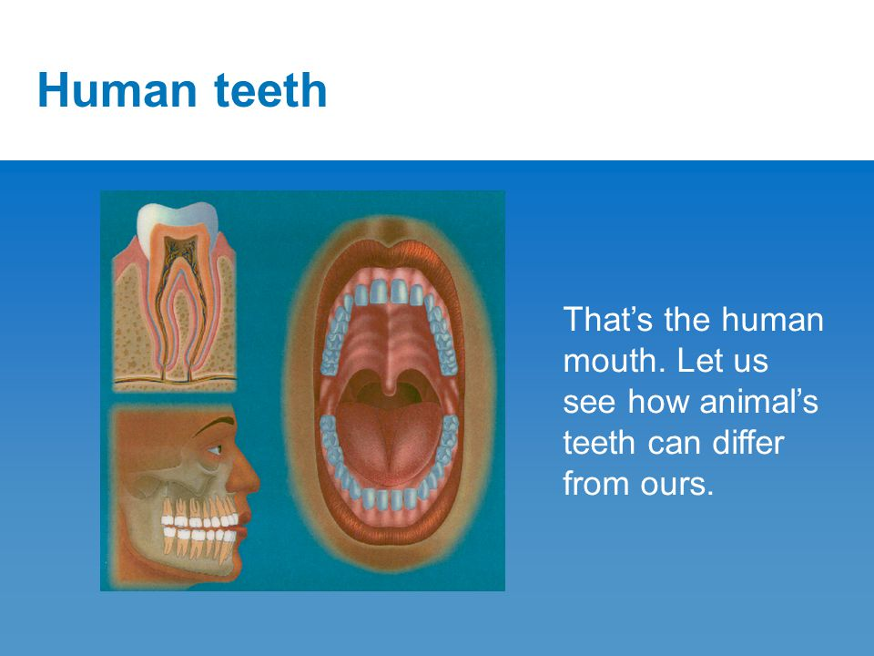 Carnivore Carnivores have special chewing teeth called carnassial teeth.