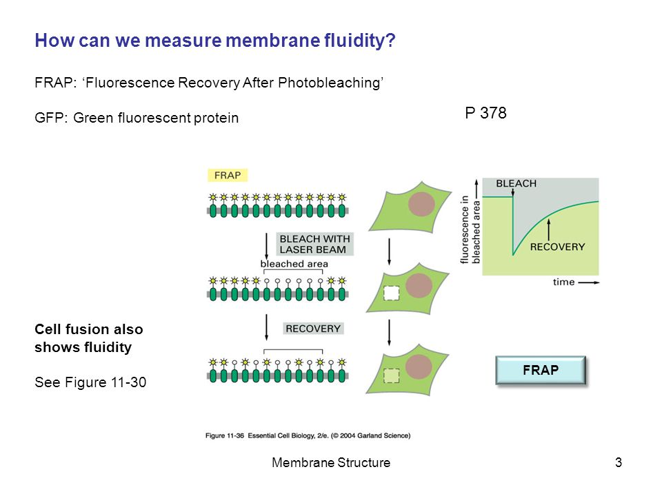 Membrane Structure3 How can we measure membrane fluidity? FRAP: 'Fluorescence Recovery After Photobleaching' GFP: Green fluorescent protein Cell fusio