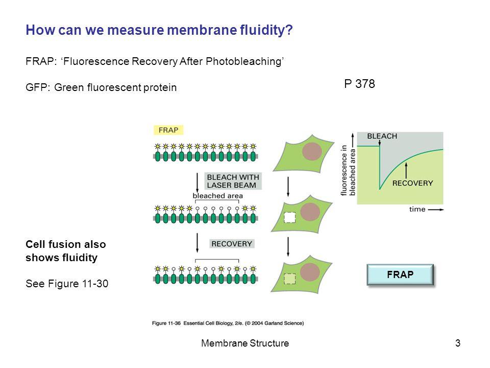 Membrane Structure4 What factors determine how fluid a membrane is.