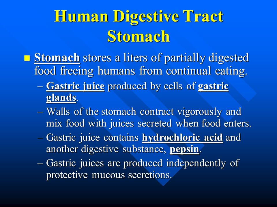 Human Digestive Tract Stomach Stomach stores a liters of partially digested food freeing humans from continual eating. Stomach stores a liters of part