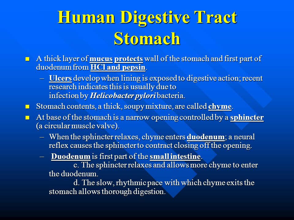 Human Digestive Tract Stomach A thick layer of mucus protects wall of the stomach and first part of duodenum from HCl and pepsin. A thick layer of muc