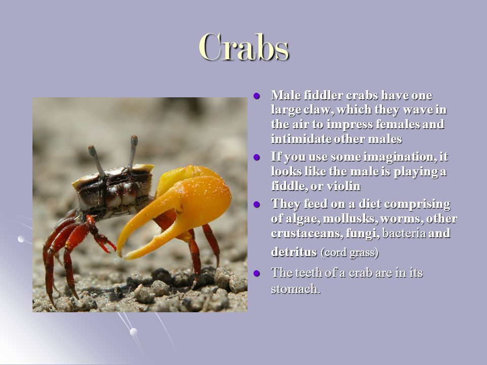 Crabs Male fiddler crabs have one large claw, which they wave in the air to impress females and intimidate other males Male fiddler crabs have one large claw, which they wave in the air to impress females and intimidate other males If you use some imagination, it looks like the male is playing a fiddle, or violin If you use some imagination, it looks like the male is playing a fiddle, or violin They feed on a diet comprising of algae, mollusks, worms, other crustaceans, fungi, bacteria and detritus (cord grass) They feed on a diet comprising of algae, mollusks, worms, other crustaceans, fungi, bacteria and detritus (cord grass) The teeth of a crab are in its stomach.