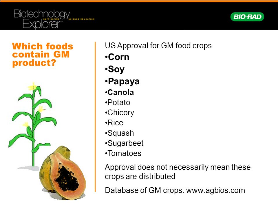 US Approval for GM food crops Corn Soy Papaya Canola Potato Chicory Rice Squash Sugarbeet Tomatoes Approval does not necessarily mean these crops are