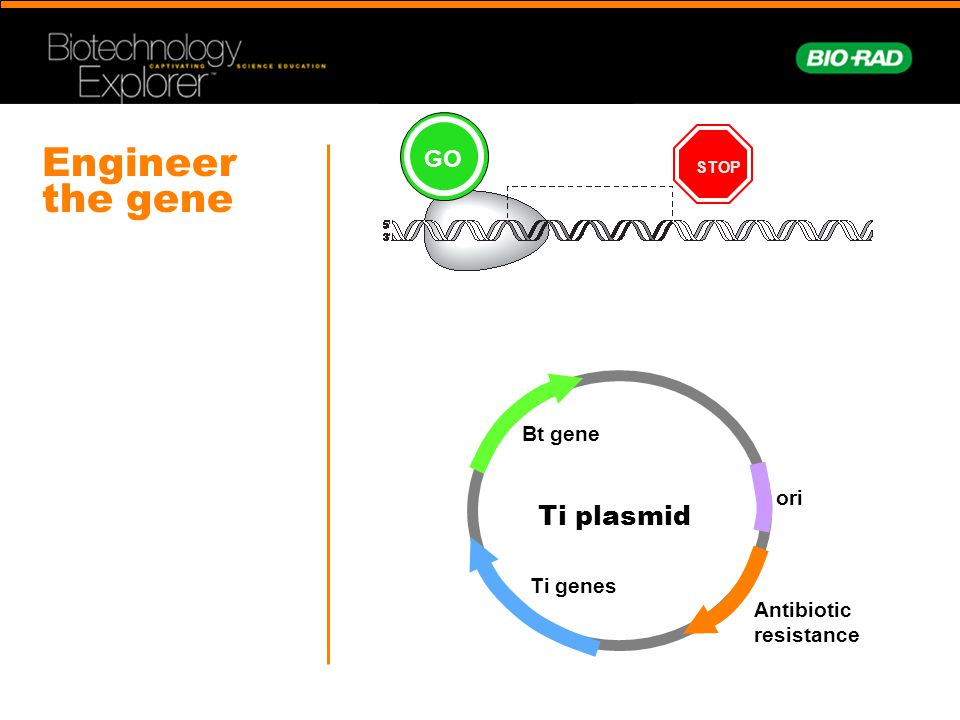 Engineer the gene STOP Antibiotic resistance Ti plasmid ori Bt gene Ti genes GO