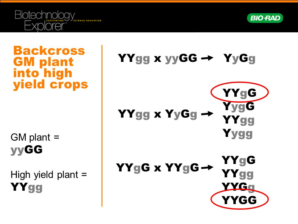 Backcross GM plant into high yield crops GM plant = yyGG High yield plant = YYgg YYgg x yyGGYyGgYyGg YYgg x YyGg YYgG YygG YYgg Yygg YYgG x YYgG YYgG