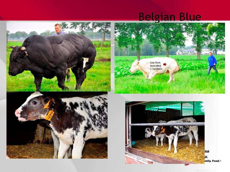 Belgian Blue