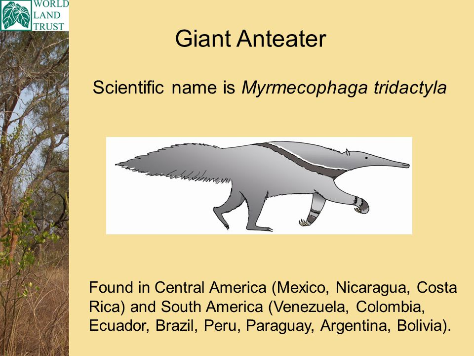 Scientific name is Myrmecophaga tridactyla Giant Anteater Found in Central America (Mexico, Nicaragua, Costa Rica) and South America (Venezuela, Colombia, Ecuador, Brazil, Peru, Paraguay, Argentina, Bolivia).