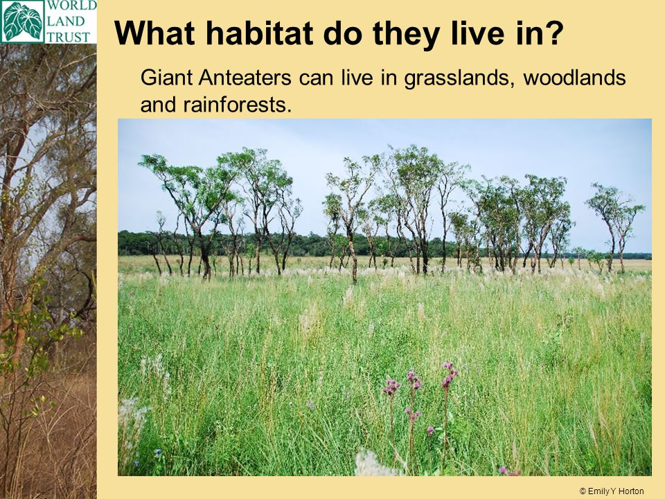 What habitat do they live in. Giant Anteaters can live in grasslands, woodlands and rainforests.