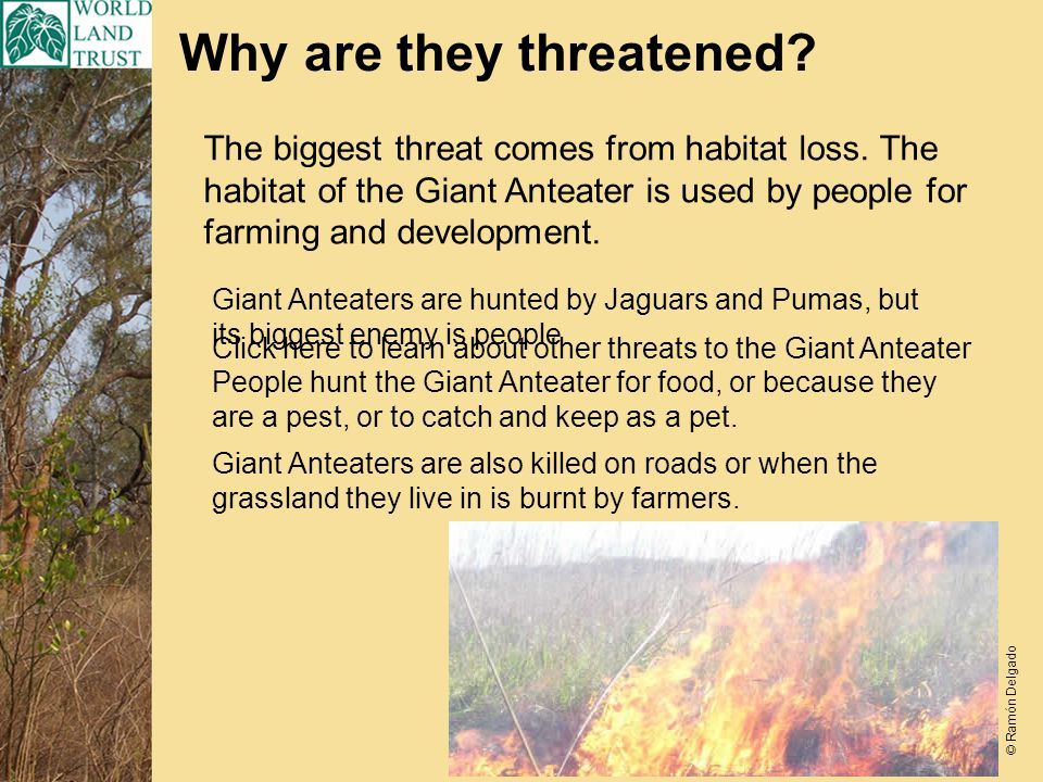 Why are they threatened. The biggest threat comes from habitat loss.