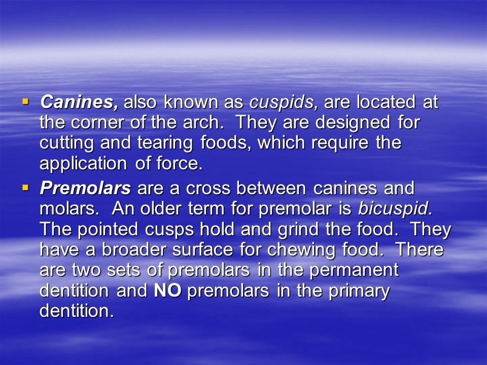  Canines, also known as cuspids, are located at the corner of the arch.