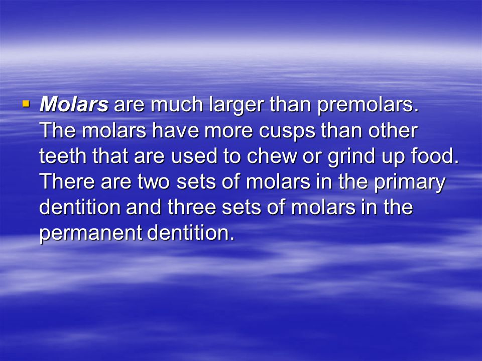  Molars are much larger than premolars.